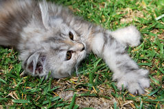 Long Haired Grey Kitten Stock Photo