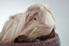 Long haired guinea pig Stock Image