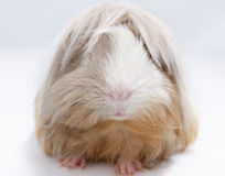 Long haired guinea pig Royalty Free Stock Photos