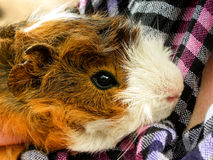 Long-haired Guinea Pig Stock Images
