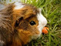 Long-haired Guinea Pig 2 Stock Photography