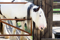 Long haired gypsy horse with a mousctache Royalty Free Stock Image
