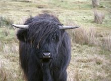Long haired Highland cattle Royalty Free Stock Images