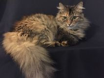 Domestic Cat on a black background. Long haired indoor pet cat, part Maine Coon, cinnamon colored tabby. Full fluffy tail, beautiful tuffs of hair at her ears royalty free stock photo
