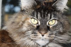 The long-haired Maine Coon tortoiseshell stock photos