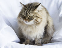 Long haired male cat of siberian breed Royalty Free Stock Image