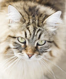 Long haired male cat of siberian breed Royalty Free Stock Images