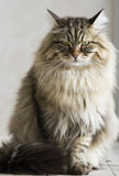 Long haired male cat of siberian breed Stock Photography