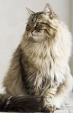 Long haired male cat of siberian breed Royalty Free Stock Photo