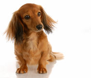 Long haired miniature dachshund Stock Image