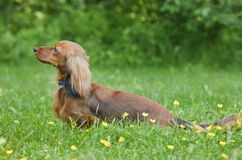 Long-haired Miniature Dachshund Stock Image