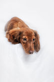 Long haired miniature dachshund Stock Photography