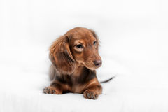 Long haired miniature dachshund Royalty Free Stock Image