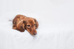 Long haired miniature dachshund Royalty Free Stock Photos