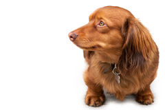 Long haired miniature dachshund isolated on white Stock Photography