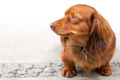 Long haired miniature dachshund  on white Royalty Free Stock Photo