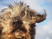 Cute dog portrait with hair flying in the wind Royalty Free Stock Image