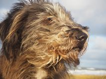 Cute dog portrait with hair flying in the wind. Long haired mixed breed dog portrait with hair and ears flying in the wind Royalty Free Stock Photo