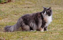 Long haired norwegian forest cat female. With alert expression stands on lawn royalty free stock photography