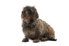 Long haired old dog Royalty Free Stock Photography