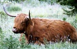 Long haired ox in field