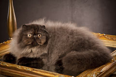 Long haired persian cat Stock Image