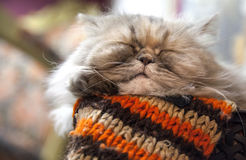Long-haired Persian cat sleeps with comfort Stock Image