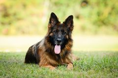 Long haired red and black German shepherd dog. Outdoors on green grass royalty free stock images