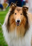 Long-haired (Rough) Collie dog. Portrait of sable and white Long-haired (Rough) Collie dog Royalty Free Stock Photography