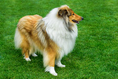 Long haired rough collie standing on green field. Long haired rough collie standing on field Stock Photos