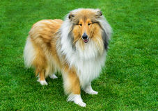 Long haired rough collie standing on the  green field. Long haired rough collie standing on green field Royalty Free Stock Photo