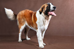 Long-haired Saint Bernard dog, posing for photograph standing in Stock Photo