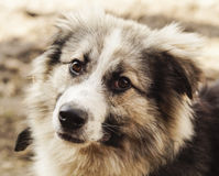 Long-haired shaggy dog of gray and black colors Stock Photos
