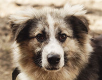 Long-haired shaggy dog of gray and black colors Royalty Free Stock Images