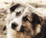 Long-haired shaggy dog of gray and black colors Royalty Free Stock Image