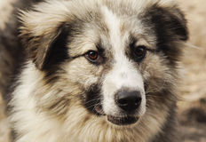 Long-haired shaggy dog of gray and black colors. Are on the sand Royalty Free Stock Photography