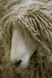 Long haired sheep Stock Images