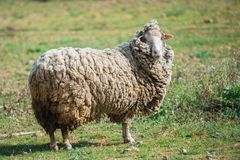Sheep. Long-haired sheep in a field, funny animal stock image