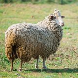 Sheep. Long-haired sheep in a field, funny animal royalty free stock photos