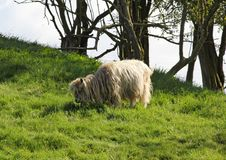 A long haired sheep grazes on lush green grass stock images
