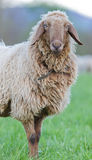 Long haired sheep portrait Royalty Free Stock Images