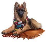 Long-haired shepherd lying on a blanket. Autumn. Stock Photography