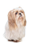 Long haired small dog. In front of a white background Royalty Free Stock Image