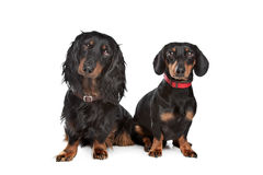Long-haired and smooth dachshund. In front of a white background Royalty Free Stock Images