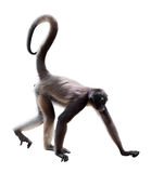 Long-haired spider monkey Stock Photography