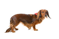 Long haired standard dachshund dog Royalty Free Stock Images
