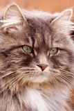 Long-haired Tabby Royalty Free Stock Photo