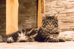 Cat large breed Maine Coon. Long-haired tabby cat. Kitten breed Maine Coon. Cat large breed. Pedigree pet royalty free stock images