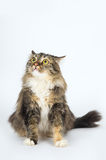 Long-haired tabby cat sits on a white background Stock Photos