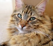 LONG HAIRED TABBY PORTRAIT. MAINECOON TABBY CAT HEAD PORTRAIT Stock Image
